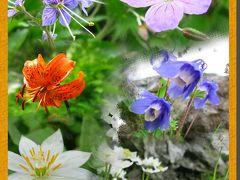 白馬植物図鑑 白馬縦走で見かけた高山植物たち~実際はこんなもんじゃありません!~