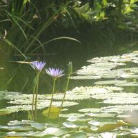天涯の花「キレンゲショウマ」を訪ねて (2泊3日) 3日目 「モネの庭・マルモッタン」編