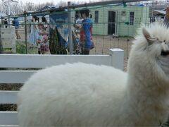 もふもふのアルパカに会いに。那須アルパカ牧場へ