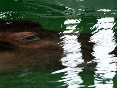 夏の雨上がりの蒸し暑い午後も頑張るKyoto City Zoo