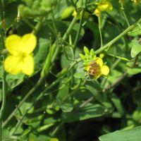 菜の花香る初済州島の旅 2012年 3月