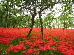 <巾着田>500万本の「曼珠沙華」・真っ赤な真っ赤な「秋さんぽ」
