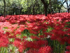 天界に咲く花「曼珠沙華」、巾着田(日高市)は一面赤絨毯!!