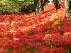 巾着田 曼珠沙華の赤い絨毯