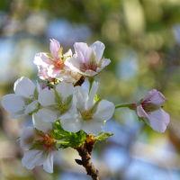 今シーズン最初の桜は季節を間違えた染井吉野から(亀戸中央公園)