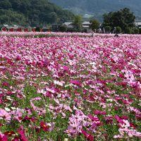 藤原京跡に咲き誇る数百万本のコスモス。今年のコスモスは見応えがありました。