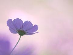 秋の昭和記念公園 花の丘のコスモスたち2013