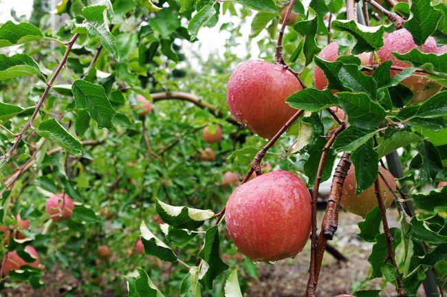信州・松本での翌日はやはり雨になりました。<br /><br />それでも小雨だったので最初の計画通り、リンゴ農園さんへ。<br /><br />台湾でのオフ会で知り合ったkumiさんのお母様の友人が経営するリンゴ農園は、安曇野にあります。<br /><br />2009年、2011年、2012年、そして今回で4回目の訪問になりました。
