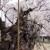 2013.3 山梨~山高神代桜~