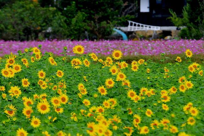 関市東田原に<br />休耕田にコスモスやヒマワリをすごく綺麗な花畑です。<br />去年はも混在一体でしたが<br />今年は、それぞれをすみ分けての花畑に<br />3年前同様を目の当たりにしてカラフルさが無くなる・<br />今年はコスモスとヒマワリとが、逆の配置になってました。<br /><br />コスモスを<br />今回は市内の3か所を訪ねてみました。<br />最後に場所でヒマワリを<br />ダイナミックさと光景の魅了は、少し淋しい<br />去年と同じ地域にて地区に秋を惜しみながら撮りました。<br /><br />2012 コスモスとひまわり畑の季節外れの妙な競演<br />http://4travel.jp/traveler/isazi/album/10717538/<br />2011ちょっと季節はずれ!コスモスとヒマワリの妙な競演!<br />http://4travel.jp/travelogue/10620327