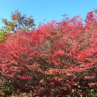 愛知の紅葉一番のり!茶臼山高原の紅葉とりんご狩り(2013.10)