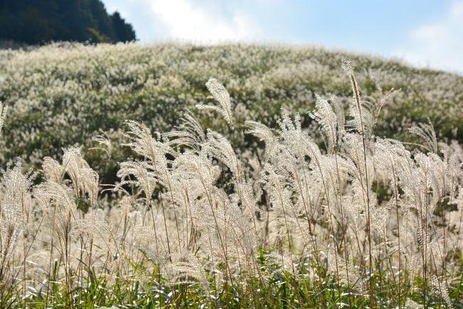本日、2013年11月1日、箱根仙石原のススキ野原の様子です。<br /><br />時々、陽が陰る時もありましたが、太陽の光が差し、逆光で見ると、見事に金色に輝いています。<br /><br />この連休中にも見ごろは続きますので、太陽の光が出ている時に、ぜひお出かけください。<br /><br />まだ、箱根滞在中ですので、取り急ぎ、写真を、そのままアップします ^^;)