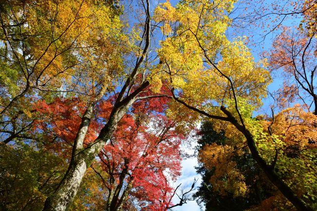箱根の紅葉情報を旅行記の順番を変更してお知らせします。<br /><br />昨日の箱根仙石原長安寺の紅葉の様子。<br /><br />ここは、木が大きいので、紅葉を見上げる形になりますが、それが圧巻。<br />また、お天気がいいと、キラキラと輝き、とても綺麗です。<br /><br />まさに今が、見ごろですので、お立ち寄りください。<br /><br />まだ、箱根滞在中ですが、取り急ぎアップします。