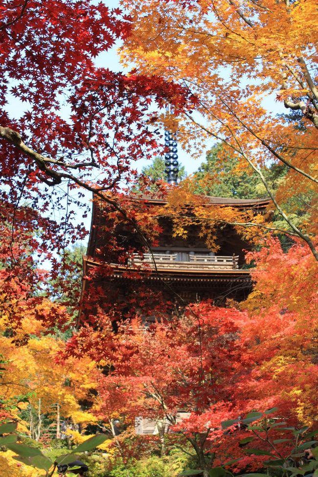 ツアー会社からの案内メールで<br />1週間後に出発する紅葉めぐりの日帰り旅行の案内が届きました。<br />今年の紅葉は例年より少し遅れ、ちょうど紅葉の見ごろにあたっており、しかも週間天気予報は晴れ。<br />これは行くしかないと即、申し込んで行ってきました。<br />今回訪れた場所は4つのお寺で、湖東三山の<br />①.天下遠望の名園の紅葉と眺望で有名な百済寺<br />②.血染めの紅葉で有名な金剛輪寺<br />③.紅葉と四季桜のコントラストがきれいな西明寺<br />それと湖北にある<br />④.境内を埋める約200本のモミジの古木で有名な鶏足寺(旧飯福寺)<br />です。<br />幸いなことに天気予報も当たり、紅葉もとてもきれいでした。<br />この美しさを皆さん方に見ていただきたく投稿します。