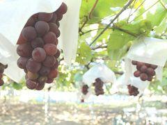 2013 OCT 秋真っ盛りの勝沼にて葡萄を狩りに!葡萄酒を買い付けに!行く