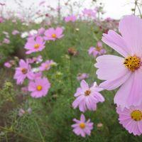 10月だけどひまわりと素敵なコスモスに囲まれて! 観光農園花ひろば 豊浜さかなひろば 【2010年10月23日】
