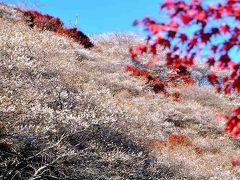 小原四季桜まつり   川見四季桜の里