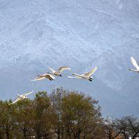 池周囲 1,230m瓢湖の白鳥渡来数 5,378羽