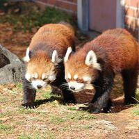 もうすぐクリスマスの東武動物公園とイルミネーション(2)レッサーパンダ特集!~ココロちゃん・チヒロちゃん・そしてやっと会えたライライくん&小型・大型草食動物たち