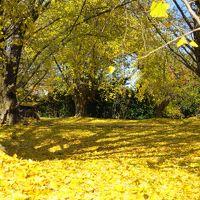子どもと一緒に歩く、祖父江町の銀杏の黄金色の絨毯