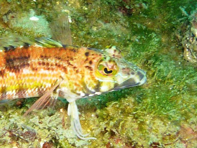 目がハートの魚。コウライトラギスでしょうか。<br /><br />