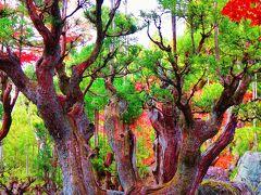 京都12 しょうざんリゾート 《 和食膳・日本庭園 》 ☆北山台杉/紀州青石 讃!