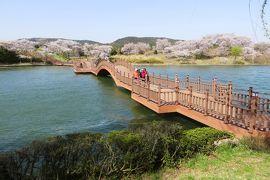 2013春、韓国旅行記26(8):4月9日(6):慶州、普門湖、染井吉野の並木、花筏、勝手に名付けた普門橋