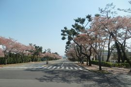 2013春、韓国旅行記26(12):4月9日(10):慶州から鎮海へ、士官学校の染井吉野、慶和駅の染井吉野