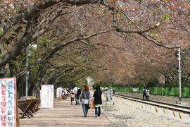 2013春、韓国旅行記26(13):4月9日(11):鎮海、慶和駅の染井吉野、余佐川の染井吉野、花筏、菜の花
