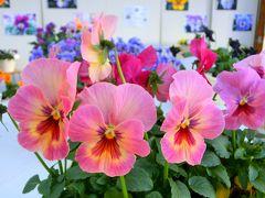 冬の花・春の花 「パンジー・ビオラ展」 大船フラワーセンター