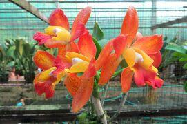 2013冬、タイ王国旅行記2(26)ダムヌンサドアク水上マーケット、蘭の花