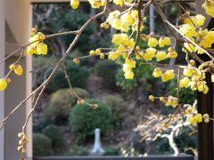 横浜西方寺の蝋梅(ロウバイ)