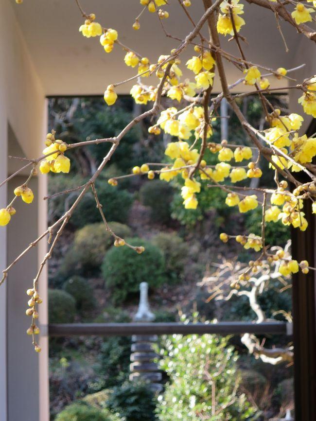 横浜西方寺の蝋梅を見に行きました。<br />近いので歩いていけます。<br /><br />花びらがロウのようにツヤツヤしています。<br />本数は少ないが見事な咲き映えです。<br /><br />今月末には満開になるでしょう。