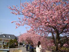 河津よいとこ一度は行こうーーー満開の桜見物①