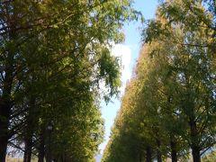 紅葉には少し早かった…マキノのメタセコイヤ並木◆2013年・湖北の紅葉めぐり≪その3≫