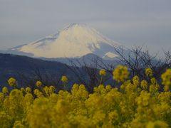 富士山と菜の花の吾妻山公園+水仙!