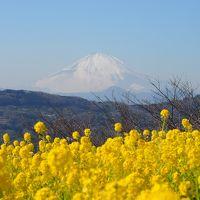 360℃大パノラマ 吾妻山公園の菜の花と絶景富士山 【 吾妻山公園 2014 】
