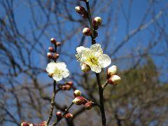横浜大倉山梅林 一足早い春を感じる