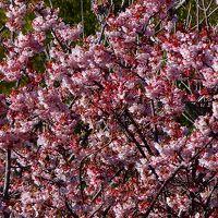 伊豆四季の花公園へ寒桜と菜の花を見に行きました 上巻