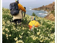 Solitary Journey[1324]日本海をバックに200万株のスイセンが咲き誇る!益田市花は水仙なんですネ。<唐音水仙公園>島根県益田市