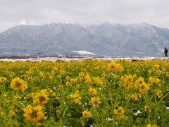 琵琶湖、守山の菜の花と佐川美術館