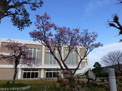 興津まで薄寒桜を見にでかけてみました