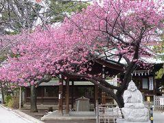 品川・荏原神社で寒緋桜