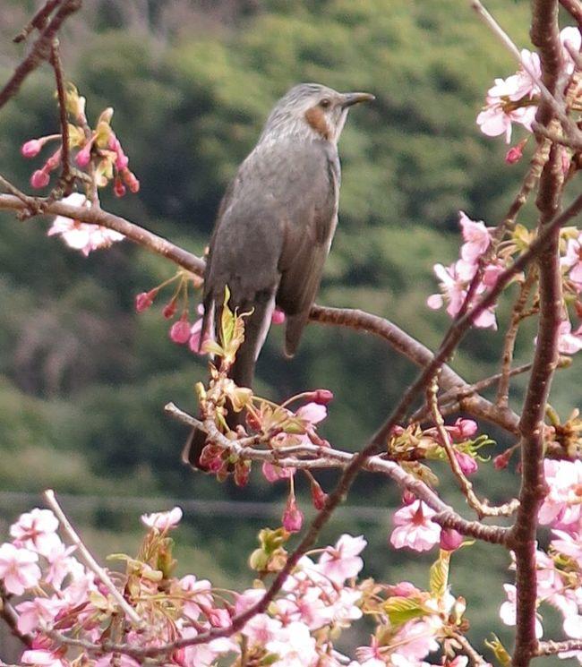 ◎河津桜②