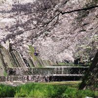 西宮・夙川公園で桜を満喫!