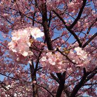 川奈ホテルと河津桜