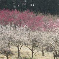 湯河原梅まつり 幕山公園(まくやまこうえん) 五分咲き