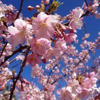 知多半島  師崎漁港の朝市 と 聖崎公園の河津桜