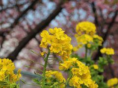 菜の花と桜のコラボ!三浦海岸の桜祭りで春を先取り