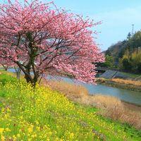 静岡 みなみの桜と菜の花まつり